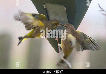 GREEN FINCHES at feed machine - Stock Photo