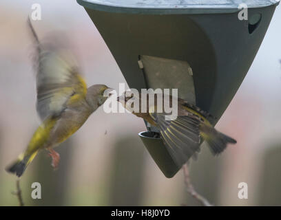 GREEN FINCHES bothered at feed machine - Stock Photo