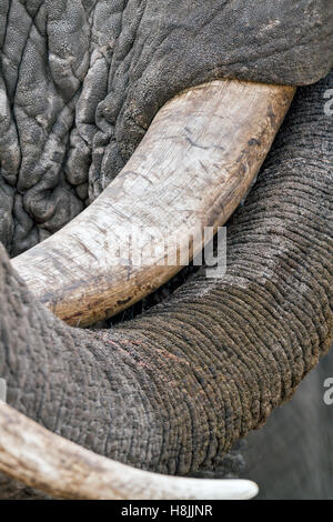Part of a series of images documenting the complex social interactions of the African elephant when they gather - Stock Photo