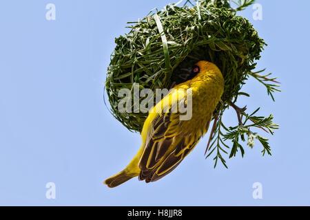 Southern Masked Weaver (Ploceus velatus) nest building, Botswana - Stock Photo