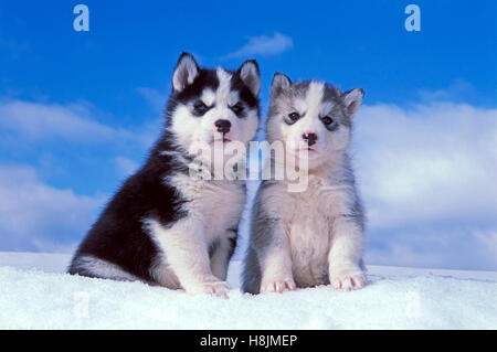 Siberian Husky,two puppies siting together on snow - Stock Photo