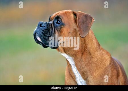 German Boxer, male in field watching birds, portrait head profile - Stock Photo
