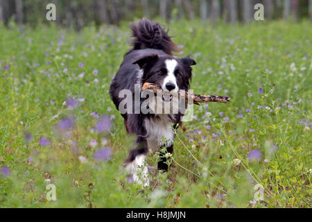 Border Collie with stick running in meadow of pink flowers - Stock Photo