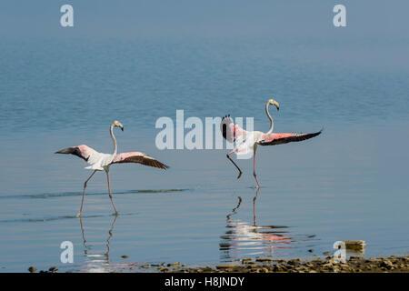 Rosaflamingo, Phoenicopterus roseus, Greater Flamingo Kerkini Lake - Stock Photo