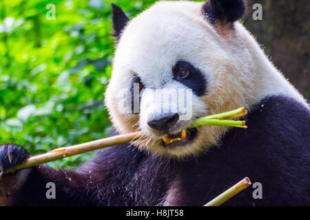 Giant panda bear (Ailuropoda melanoleuca) sitting and eating fresh bamboo - Stock Photo