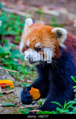 Red panda (Ailurus fulgens) or lesser panda eating pumpkins - Stock Photo