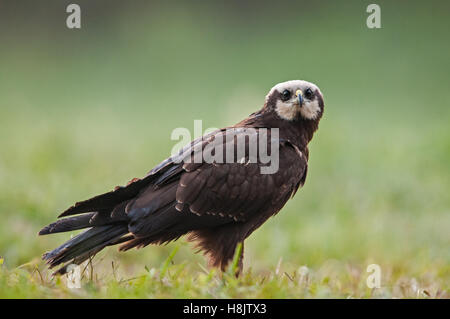 Female of Marsh Harrier (Circus aeruginosus) on a summer meadow.Poland,Bory Tucholskie National Park.Close , horizontal - Stock Photo