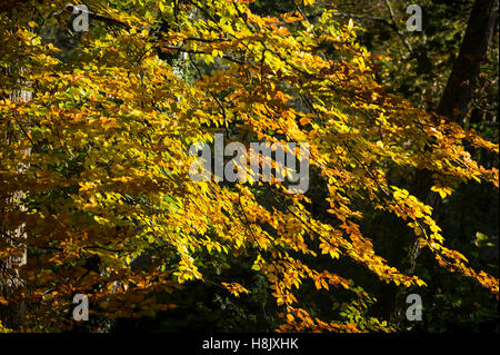 Autumn colours on the leaves of a common beech tree in Dunsford Wood, Devon, UK. - Stock Photo