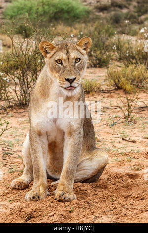 A young lioness at dawn in the Kgalagadi Park - Stock Photo