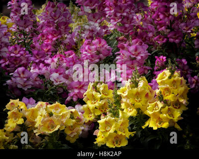 Close up of snapdragons. Oregon - Stock Photo