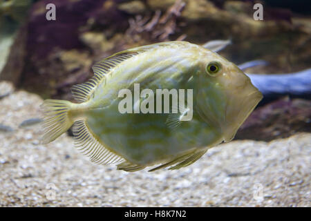 John Dory (Zeus faber), also known as the Saint Peter's fish. - Stock Photo