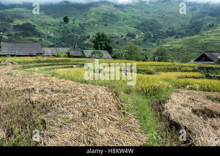 Man in shoulder high rice at harvest time, Ta Van valley, Sa Pa, north Vietnam - Stock Photo
