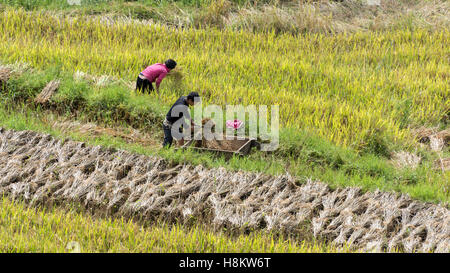 Farmer hand threshing rice into a wooden box, Ta Van valley, Sa Pa, north Vietnam - Stock Photo