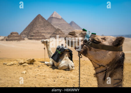 Cairo, Egypt Two camels resting in the desert with the three Great Pyramids of Giza in the background against a - Stock Photo