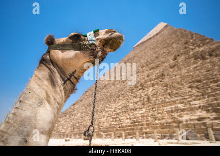 Cairo, Egypt Camel resting in the desert with the Great Pyramids of Giza in the background. This is The Pyramid - Stock Photo