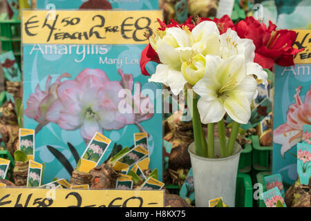 Amsterdam, Netherlands close up of Amaryllis flower bulbs for sale in an outdoor market. - Stock Photo