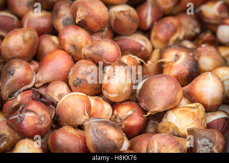Amsterdam, Netherlands close up of flower bulbs for sale in an outdoor market. - Stock Photo