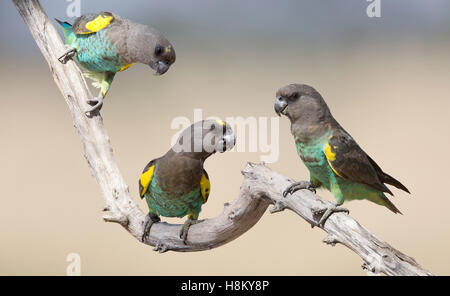 Digital composite of three Meyer's Parrot birds perched on a branch - Stock Photo