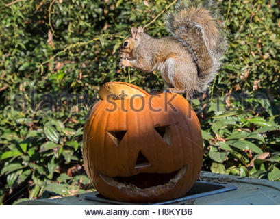 Turin, Italy. 12 November, 2016. ZOOM Zoo visit in Turin. This is a squirrel that feeds on a Halloween Pumpkin. - Stock Photo