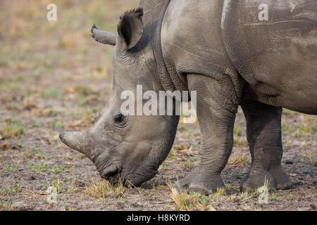 Closeup portrait of a white rhino (Ceratotherium simum) grazing