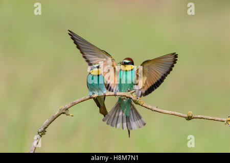 Bienenfresser, European bee eater flying, Merops apiaster - Stock Photo