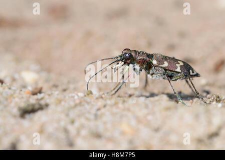 Duenen-Sandlaufkaefer, Cicindela hybrida, Northern Dune Tiger Beetle - Stock Photo