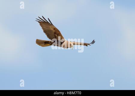 Rohrweihe Weibchen, Circus aeruginosus, Female Western Marsh Harrier - Stock Photo