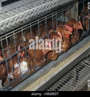 Caged brown warren battery egg laying hens and feeding trough - Stock Photo