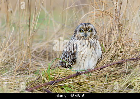 Sumpfohreule, Asio flammeus, Wild Short Eared Owl - Stock Photo