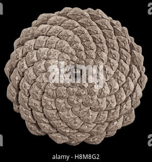 Close-up of  the back of a pine cone isolated on black, showing the patterns of the fibonacci numbers. - Stock Photo