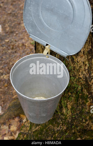 Metal bucket attached to a tap in a sugar maple, collecting maple sap to make maple syrup, Ontario, Canada - Stock Photo