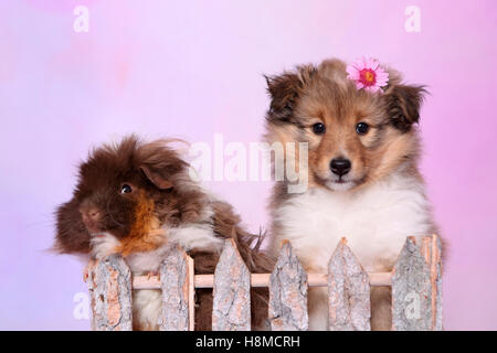 Shetland Sheepdog. Puppy (6 weeks old) and a long-haired guinea pig behind a fence. Studio picture against a pink - Stock Photo