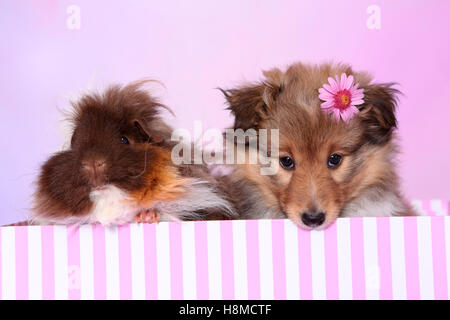 Shetland Sheepdog. Puppy (6 weeks old) and a long-haired guinea pig sitting in a pin-and-white striped box. Studio - Stock Photo