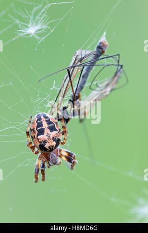 Furrow Spider (Larinioides cornutus). Female with prey. Germany - Stock Photo