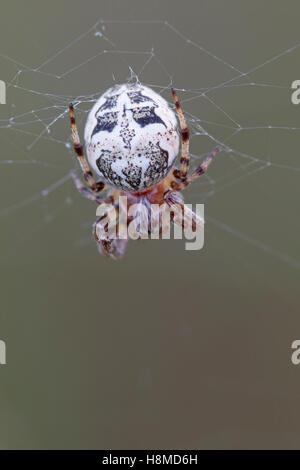 Furrow Spider (Larinioides cornutus). Female on net. Germany - Stock Photo