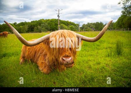 Scottish Highland cattle near Fort William, Scotland - Stock Photo