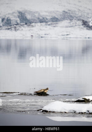 Resting seal. Lofoten, Norway - Stock Photo