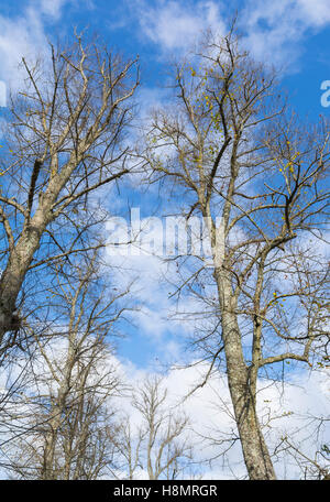 Looking up at bare trees in Winter against blue sky. - Stock Photo