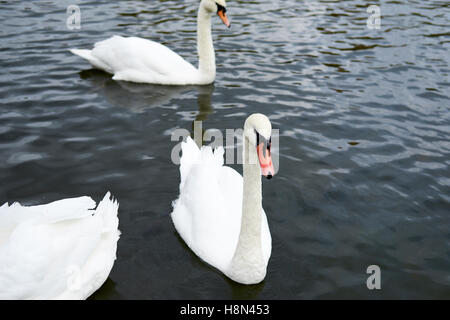 Mute Swans (Cygnus olor) on a river. UK. - Stock Photo