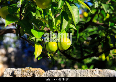 Ripening oranges on tree hanging over a stone wall - Stock Photo