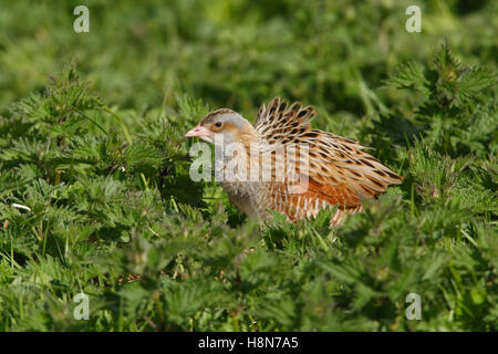 Corncrake Crex crex in a crofters hay meadow on North Uist Outer Hebrides - Stock Photo