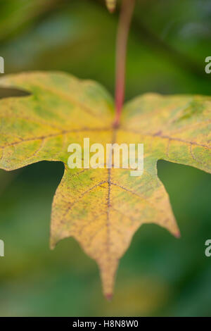 autumn maple leaf from green to gold colour change  Jane Ann Butler Photography JABP1705 - Stock Photo