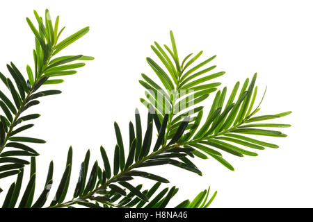 Europäische Eibe, Eibenbaum, Taxus baccata, European yew, Common yew, yew, L'If commun, If - Stock Photo
