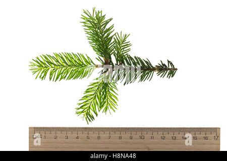 Gewöhnliche Fichte, Rot-Fichte, Rotfichte, Picea abies, Common Spruce, Norway spruce, L'Épicéa, Épicéa commun - Stock Photo