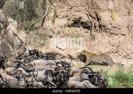 African Leopard, Panthera pardus, stalking, hunting Wildebeest, Connochaetes taurinus, Great Migration, Masai Mara - Stock Photo