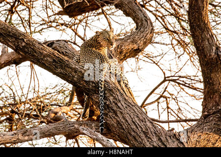 Solitary African Leopard, Panthera pardus, in a tree searching for prey, Buffalo Springs National Reserve. Samburu, - Stock Photo
