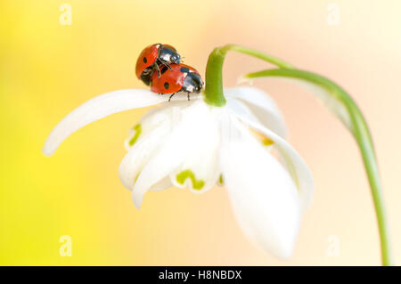 Two seven-spot Ladybirds mating on a snowdrop flower - Stock Photo