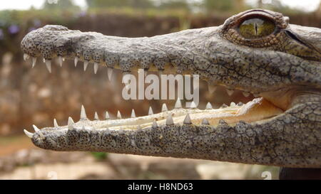 Baby crocodile opens its mouth to reveal a sharp set of teeth - Stock Photo