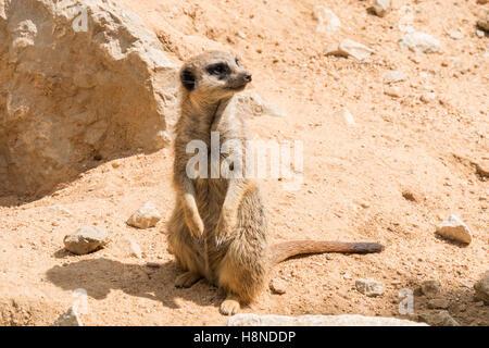 Suricata suricatta, Meerkat - Stock Photo