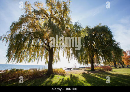 sunrays coming through the branches of a willow tree - Stock Photo